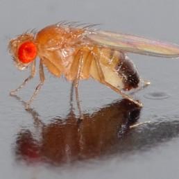 Dropsophila