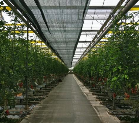 Olericulture LED